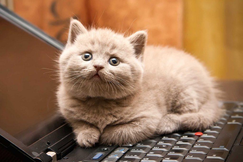 Les chats aiment dormir sur votre ordinateur à cause de la chaleur qui s'en dégage.