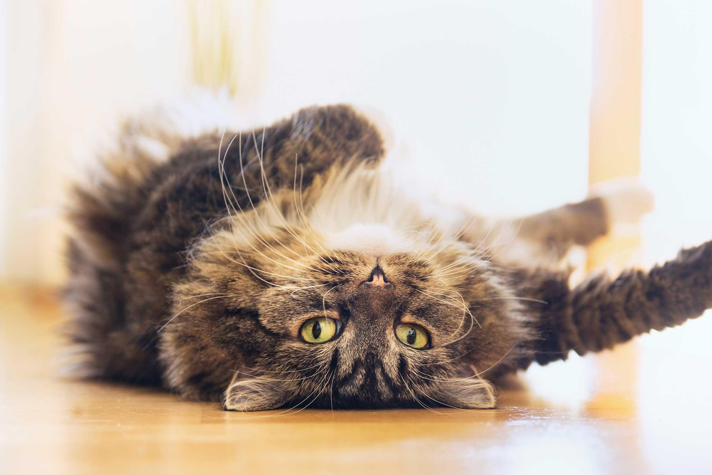 Les chats font souvent des singeries pour attirer l'attention de leur maître.
