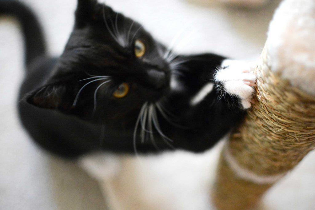 Les chats doivent faire leur griffes pour leur santé.