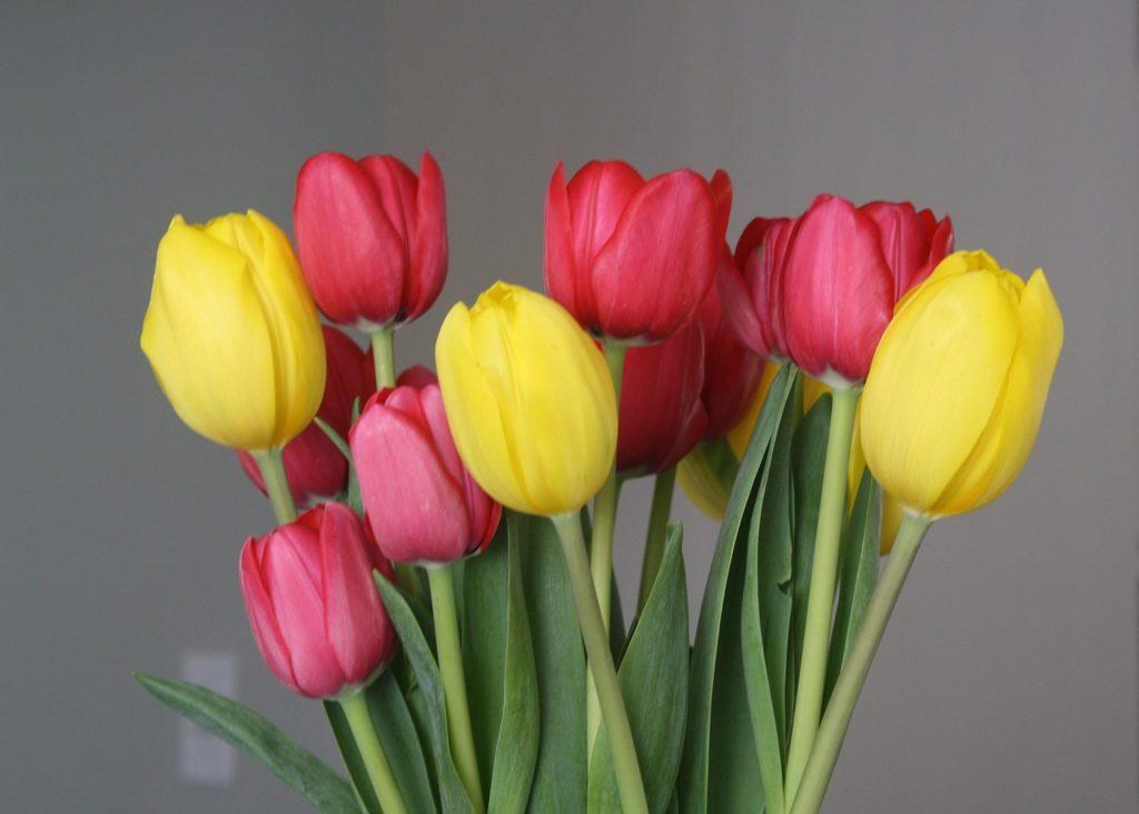 La tulipe, aimable et enjouée