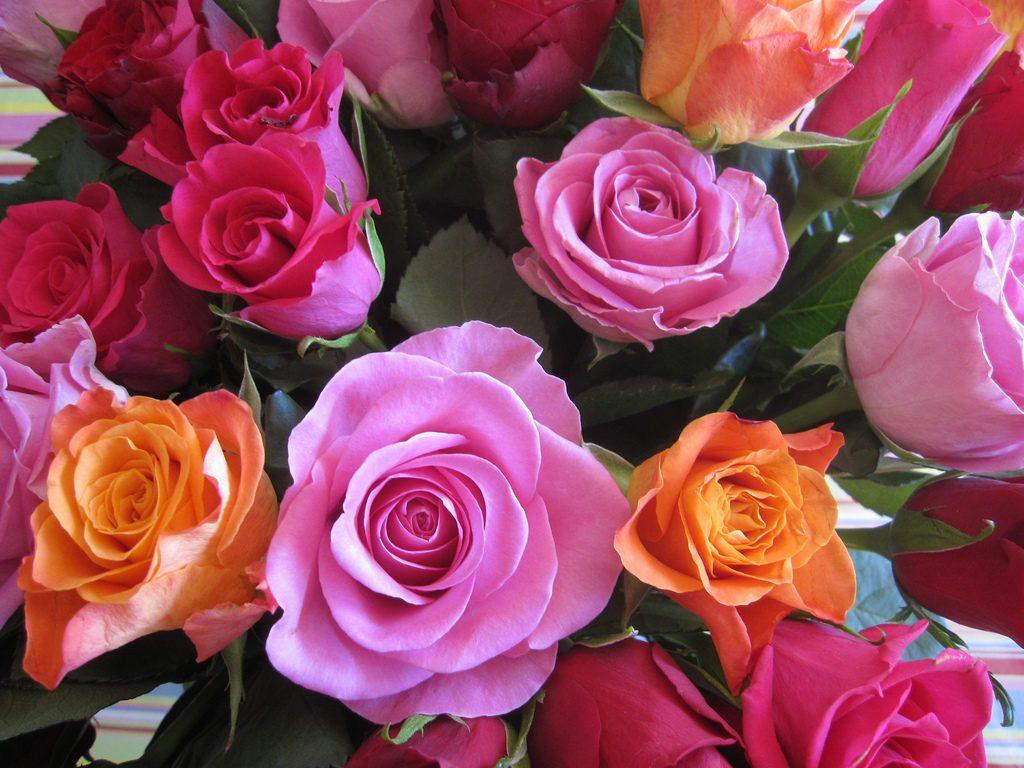 La rose, classique s'il en est