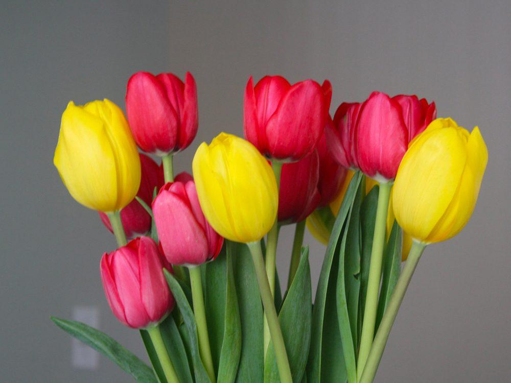 Fête des Mères: offrez-lui des tulipes.