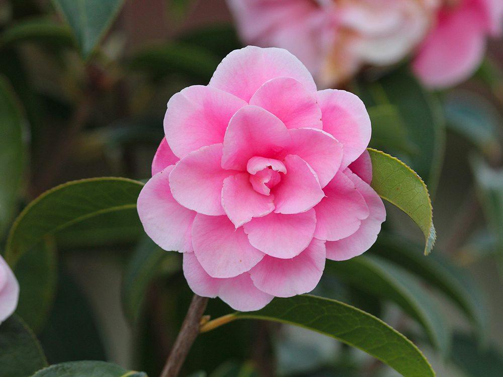 Fête des Mères: offrez-lui des fleurs de camélia.