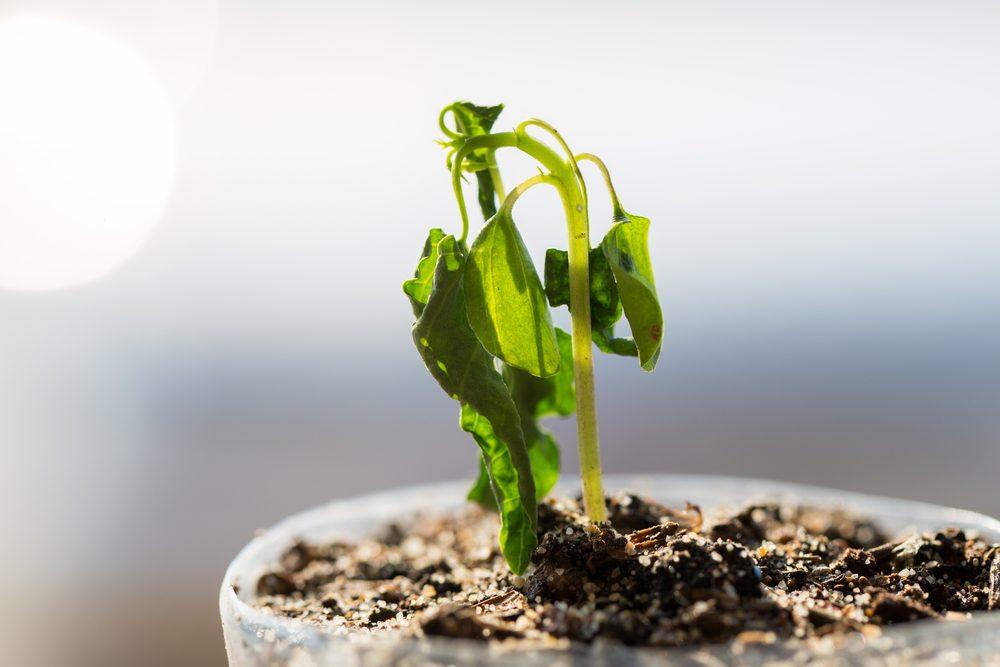 Si votre plante est en mauvaise état, chercher les signes de vie avant de la jeter.