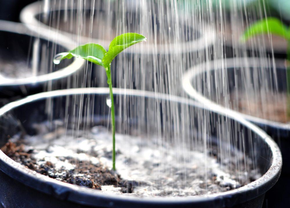 L'arrosage est primordial pour ressusciter une plante.