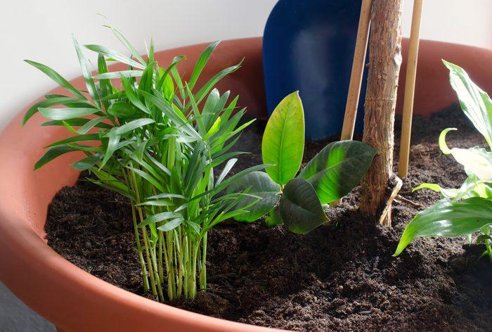 Pour essayer de ressusciter une plante morte vous pouvez la rempoter.
