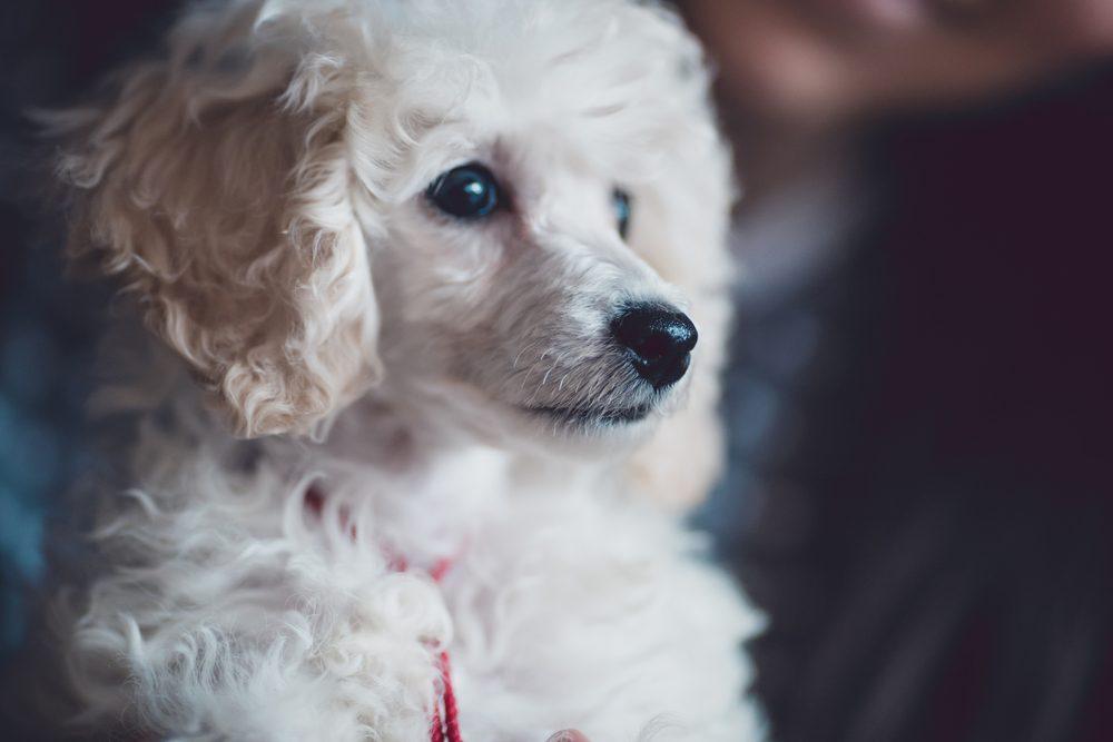 Le caniche : un chien à bon caractère