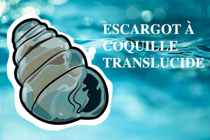 L'escargot à coquille transparente