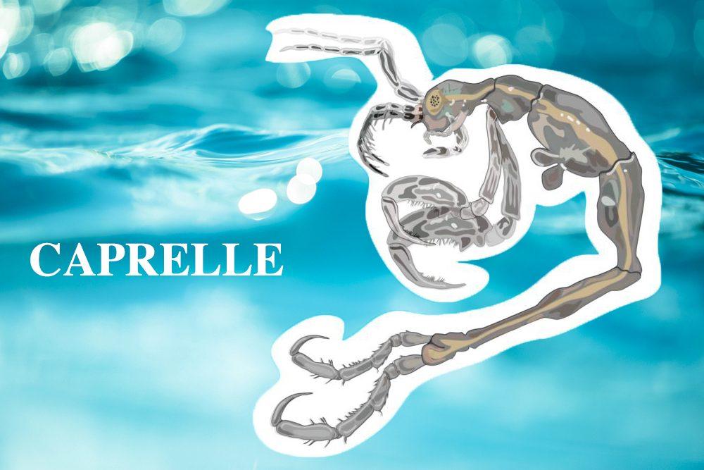 Crevette squelette