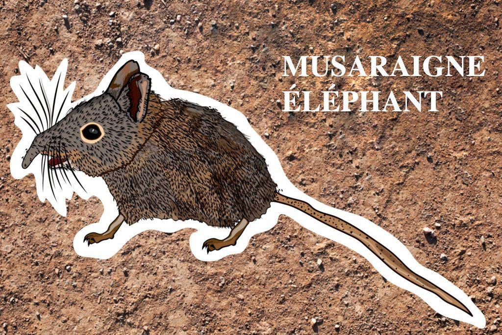 Musaraigne éléphant