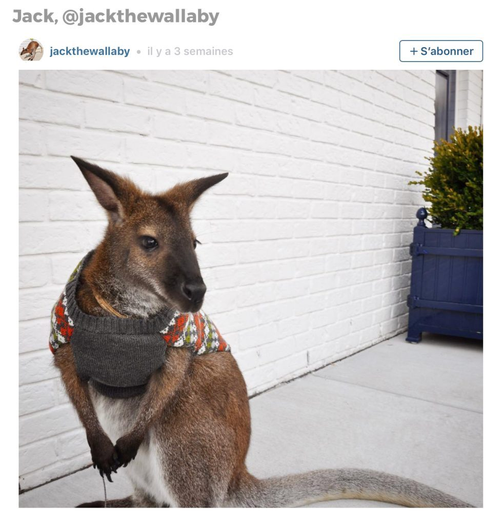 Animaux sur Instagram: Jack le wallaby