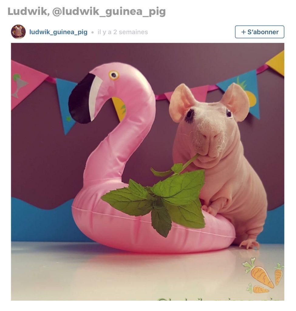 Animaux sur Instagram: Ludwik le cochon d'Inde