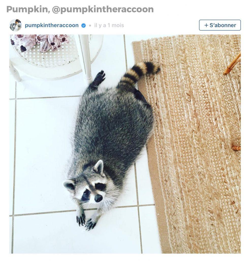 Animaux sur Instagram: Pumpkin le raton laveur