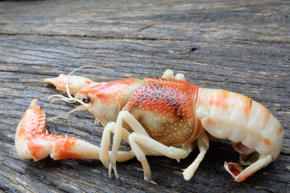 Produit-on du homard en aquaculture, comme le saumon?