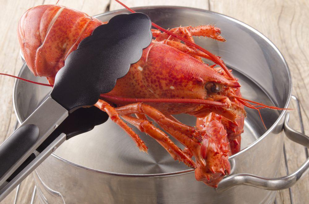 Le homard n'a pas d'organe vocal et le système nerveux et le cerveau de cet invertébré sont trop peu développés pour qu'il ressente de la douleur.