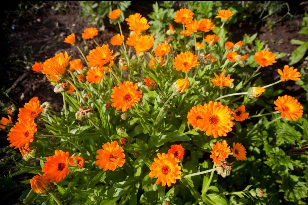 Le calendula, l'herbe médicinale contre les troubles de digestion