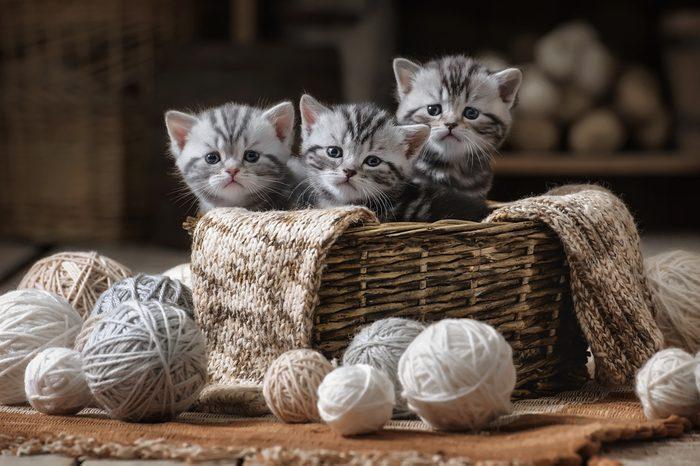 Les chatons commencent à ronronner à une semaine.