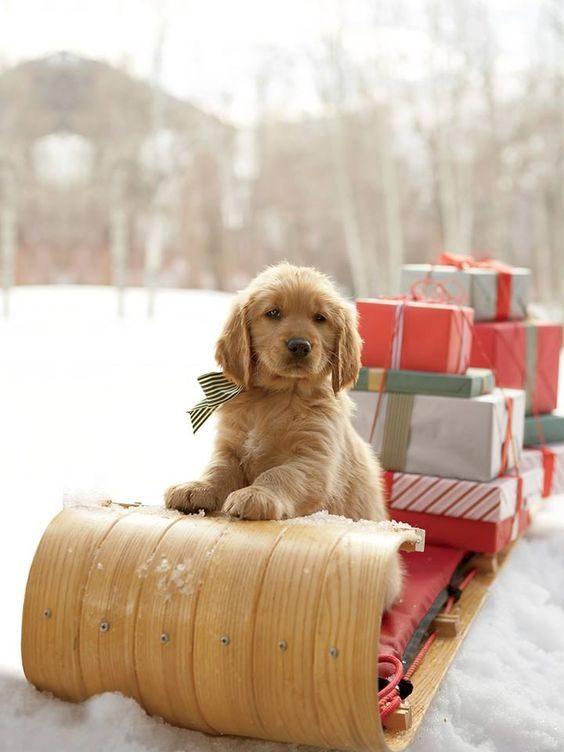 Ce petit chien est prêt à distribuer les cadeauxde Noël.