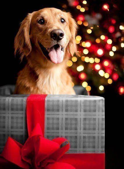 Ce chien aime les cadeaux de Noël.