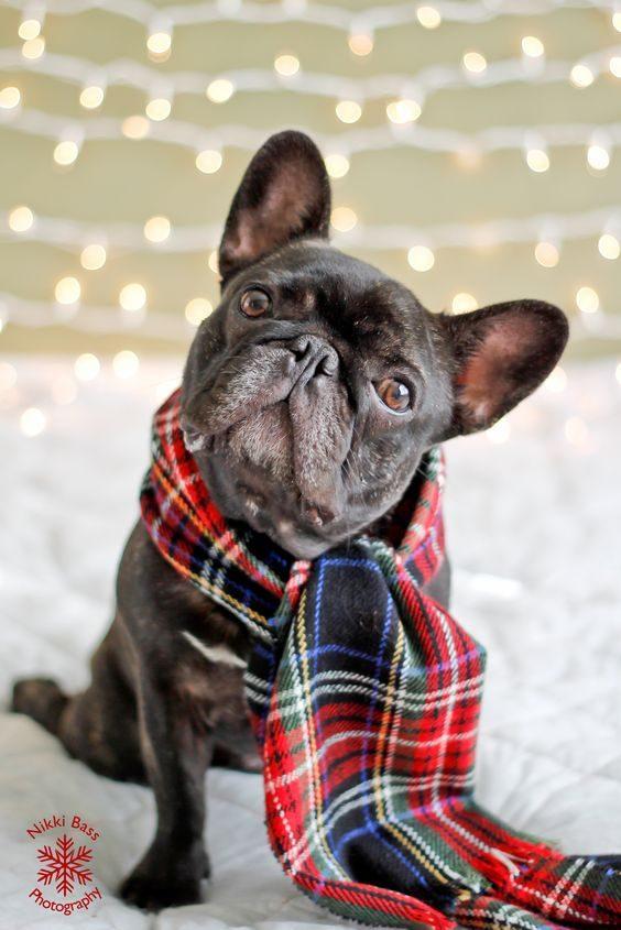 Ce chien attend Noël avec impatience.