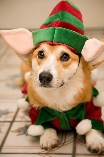 Ce chien pourrait être un lutin dans l'atelier du père Noël.