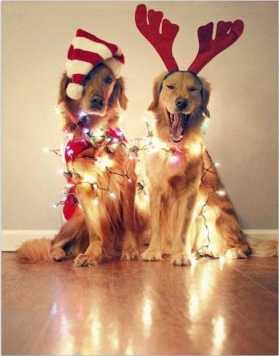Ces deux chiens forment un beau duo de Noël.