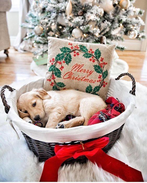 Ce chien reste peut-être sous le sapin pour rencontrer le père Noël.