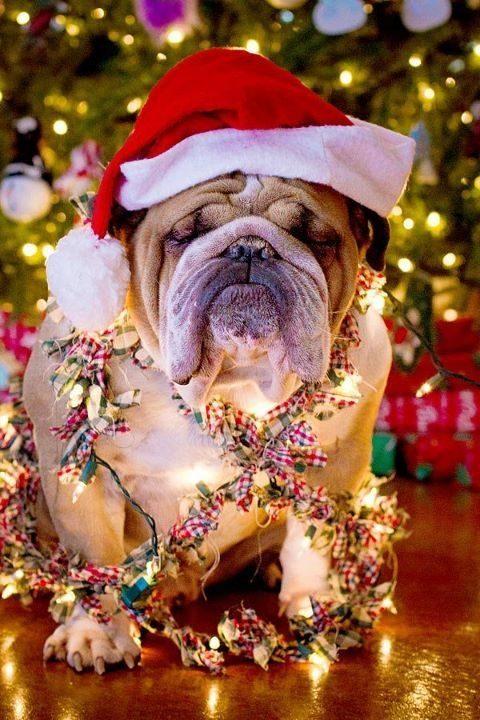 Ce chien n'a pas l'air d'aimer Noël.