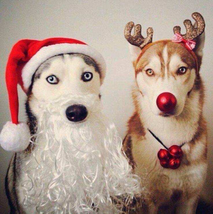 Ces deux chiens pourraient remplacer le père Noël et un renne.