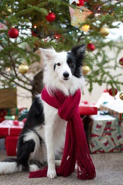 À Noël, ce chien est très élégant.