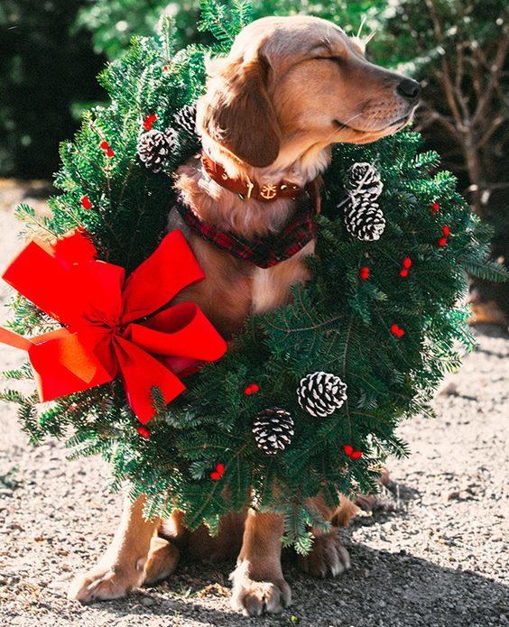 Ce chien est prêt pour Noël.