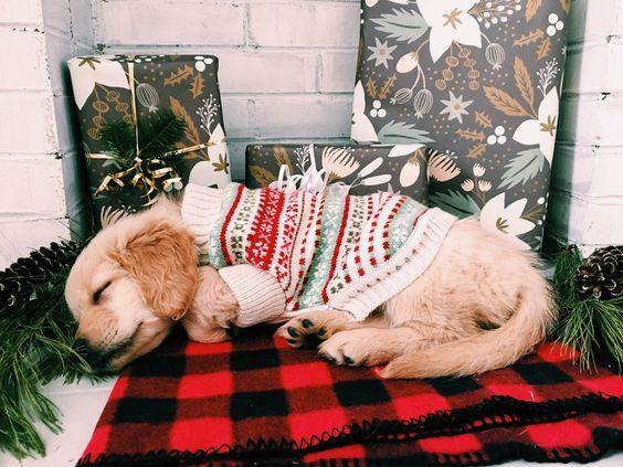 Ce petit chien se repose avant le repas de Noël.