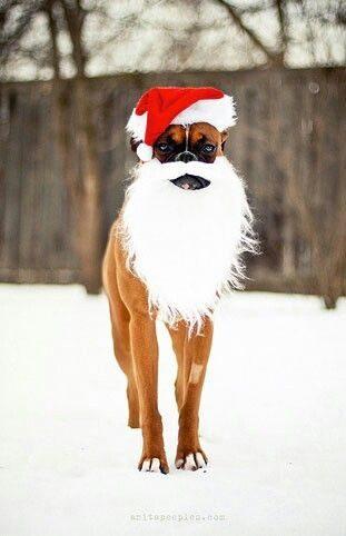 Ce chien s'est déguisé en Père Noël.