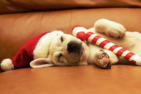 Noël, c'est épuisant pour un petit chien.