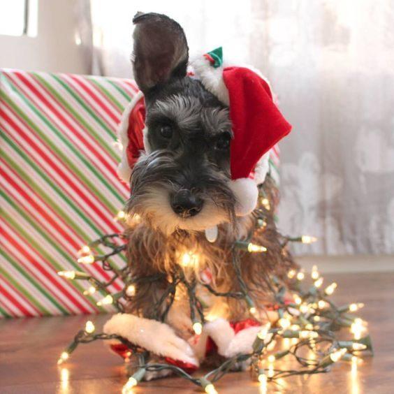 Ce petit chien est prêt pour les Fêtes.