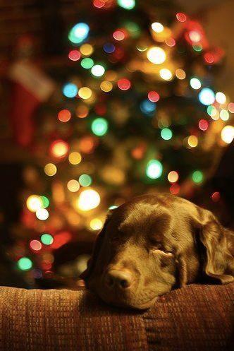 Ce chien aime rester à côté du sapin.