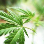 7 effets du cannabis que vous ignorez peut-être