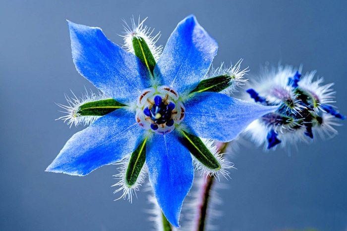 L'huile de bourache provient de cette jolie fleur bleue.