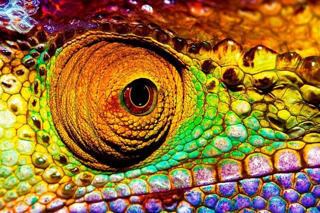 Mythe: les caméléons changent de couleur pour s'adapter à leur environnement