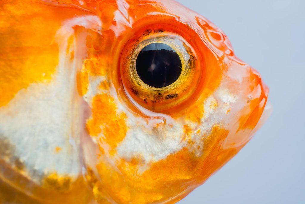 Mythe: les poissons rouges ont une mémoire de trois secondes