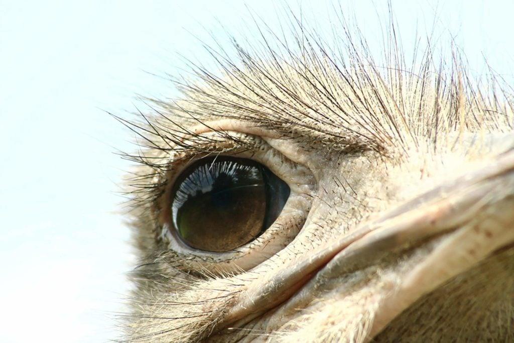 Mythe: devant le danger, les autruches s'enfoncent la tête dans le sable