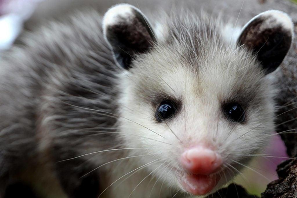 Mythe: les opossums dorment suspendus par la queue