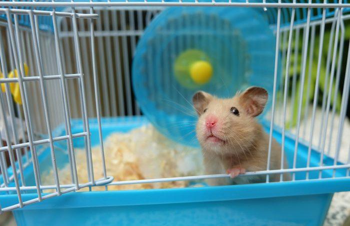 Le hamster a besoin d'une cage, d'une litière et de jouets.