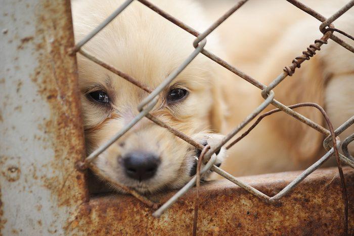 Chiot dans une usine à chien, derrière un grillage.