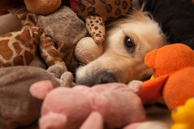 Jeune chien couvert de jouet et de peluches.