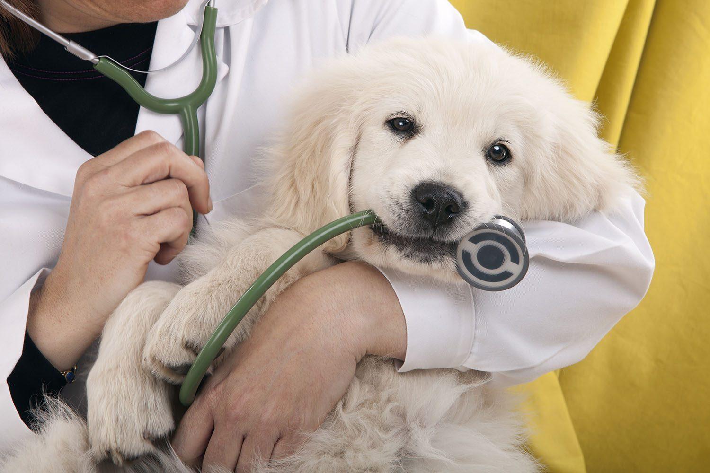 Jeune chien qui mord un stethoscope.