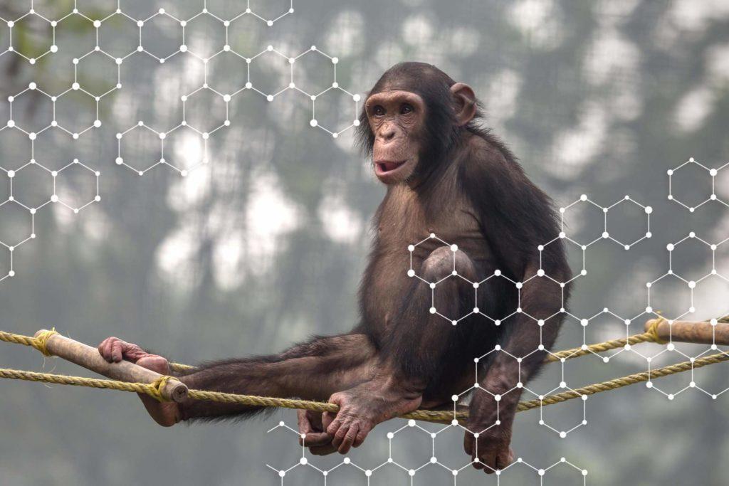 Pourquoi les autres primates sont-ils bien plus forts que nous?