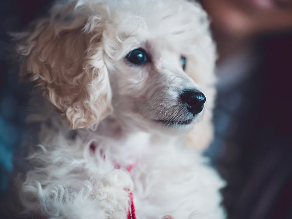La caniche est un bon chien pour votre famille.