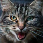 Chat qui miaule sans arrêt? Découvrez 15 raisons étonnantes