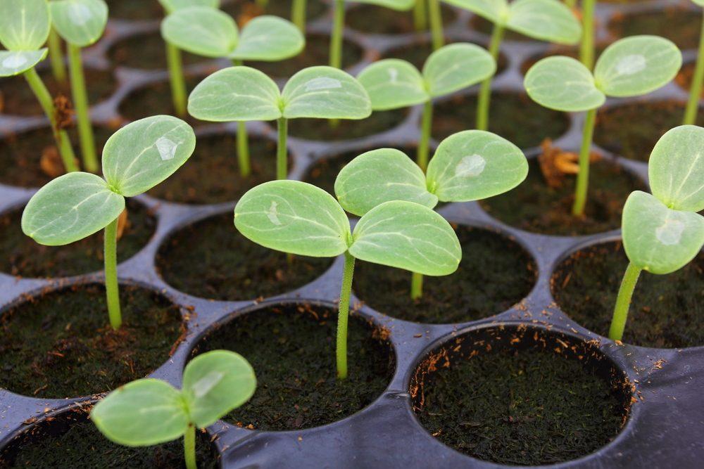 L'importance d'une bonne germination